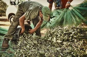 Raccolta di olive